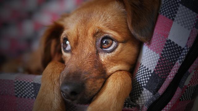 חרדת נטישה אצל כלבים